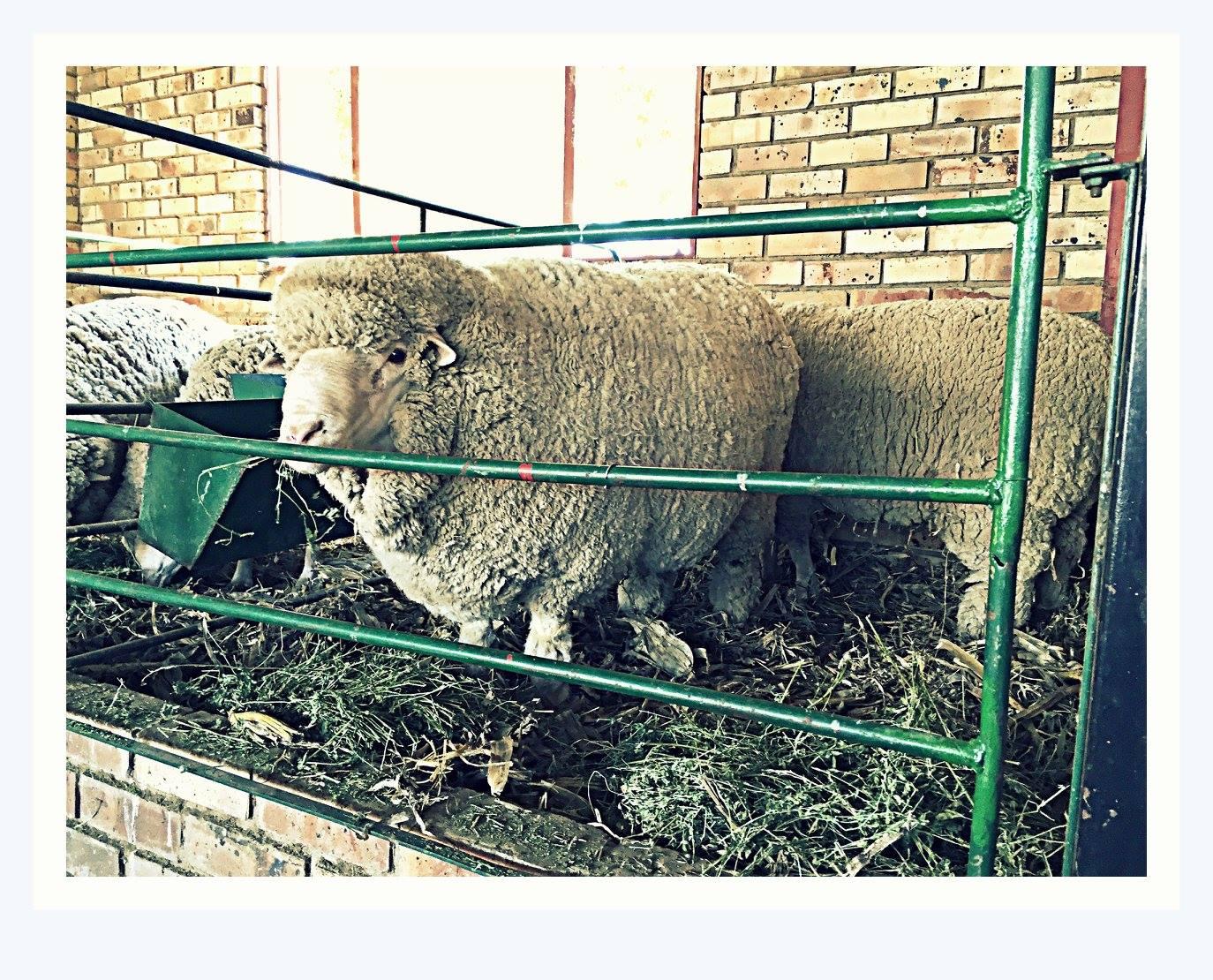 sheep-four
