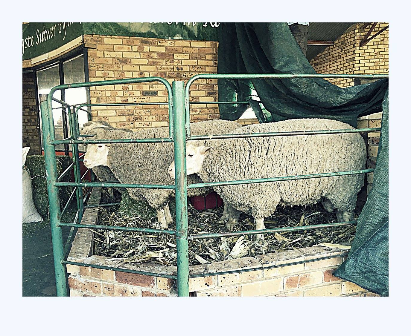 sheep-two