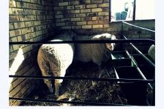 sheep-three